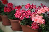 Geranium v květináčích — Stock fotografie