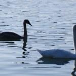 Swans — Stock Photo #31075061