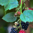Blackberry fruit — Stock Photo