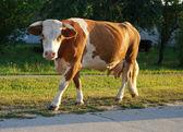 Cow walking — Stock Photo