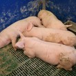 Pigs in stable — Stock Photo