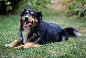 Hund avkopplande — Stockfoto