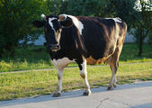 Cow walks — Stockfoto
