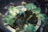 Single Lotus flower — Stock Photo