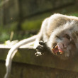 Macaque with big teeth — Stock Photo