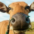 Cute cow closeup — Stock Photo