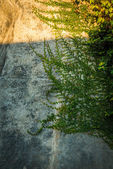 Old gritty wall with crawling plant — Stock Photo