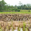 Bali ducks in rice paddy — Stock Photo