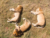 Three lions sleeping — Stock Photo