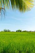 Rice field in Bali — Stock Photo