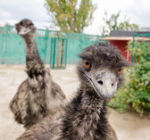 Two funny ostriches — Stock Photo