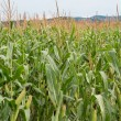 Stock Photo: Cornfield