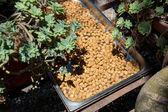 Sun drying almonds — Stock Photo