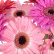Gerbera flowers isolated on white — Stock Photo