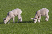 Lambs grazing in rural field — Stock Photo