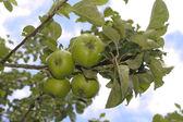 Olgun yeşil elma ağacı büyüyen — Stok fotoğraf
