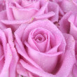 Bouquet of pink roses over white background — Stok fotoğraf
