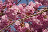 Pink cherry blossom tree in spring — Stock Photo