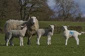 Sheep and lambs grazing — Stock Photo