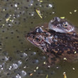 Stock Photo: Common frog