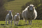Sheep and lamb in rural countryside — Stock Photo