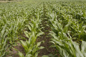 Corn growing in field — Stock Photo