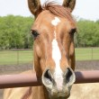 Stock Photo: Closeup of horse head