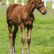 Foal on the green grass — Stock Photo