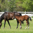 Stock Photo: Mare and foal on the green grass