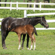 Mare and foal on the green grass — Stock Photo #33540955