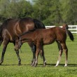 Mare and foal on the green grass — Stock Photo #33541961