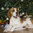 Beagle — Stock Photo #38817791