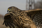 Northern Goshawk (Accipiter gentilis) — Stockfoto