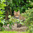 Stock Photo: Red Fox Cub hiding