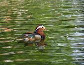 Mandarin Duck and Ripples — Stock Photo