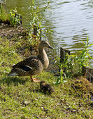 Mother Duck and Duckling — Stock Photo