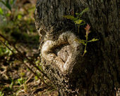 Heart of Oak — Stock Photo