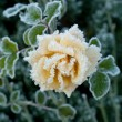 Rose and Frost — Stock Photo