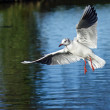 Black-headed Gull in Flight - Stock Photo