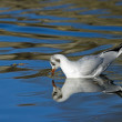 Black-headed Gull Reflected - Stock Photo