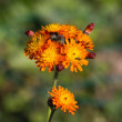 Fox and Cubs Wild Flower - Stock Photo