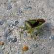 Hawthorn Shield Bug - Stock Photo