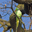 Stock Photo: Ring-necked Parakeet