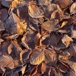 Beech Leaves and Frost — Stock fotografie