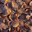 Beech Leaves and Frost — Stock Photo