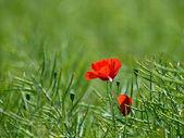 Papavero rosso — Foto Stock