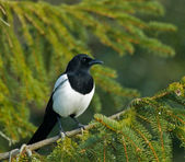 Magpie in Tree — Stock Photo