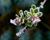 Escallonia and Frost — Stock Photo