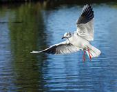 Black-headed Gull in Flight — Stock Photo