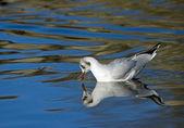 Black-headed Gull Reflected — Stock Photo